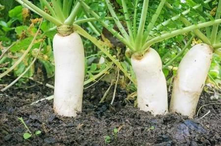 заморский овощ дайкон