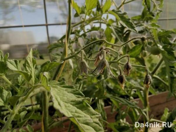 Лишний бор замедляет рост томатов
