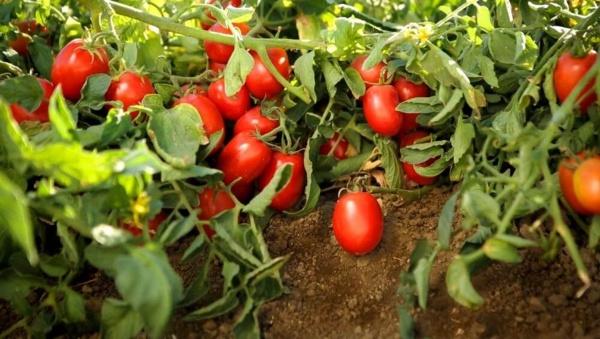 Так выглядят томаты, когда хватает всех микроэлементов