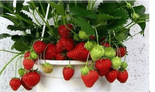 Фото: самоопыляемые сорта клубники для выращивания дома
