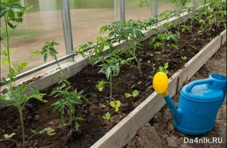 полив водой в теплице помидоры