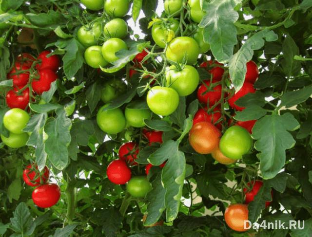 чем обрабатывать помидоры для завязи