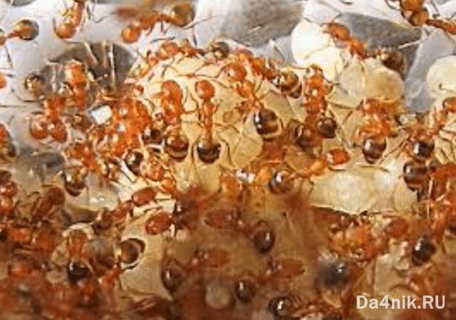 отрава для муравьев