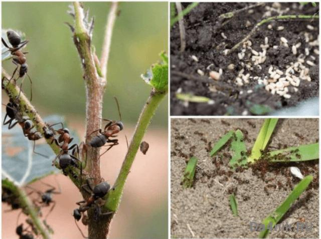уничтожение муравьев в саду