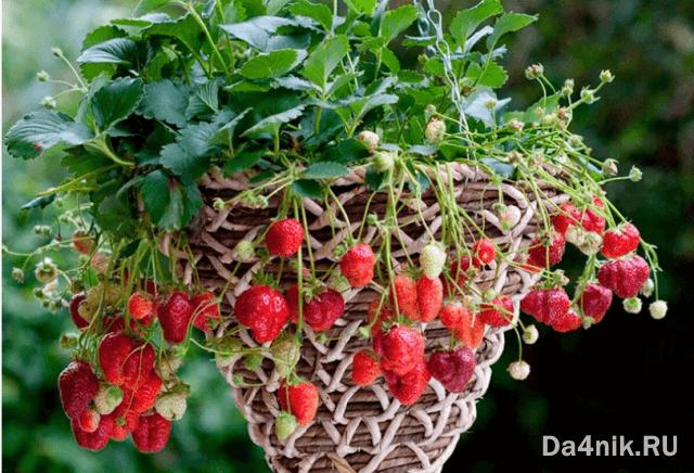 выращивание клубники ремонтантной в домашних условиях
