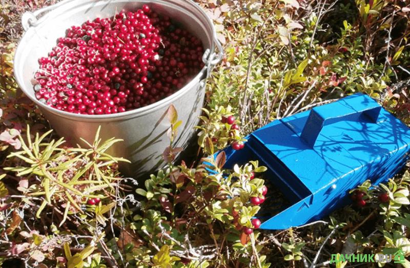 клюква садовая сбор урожая