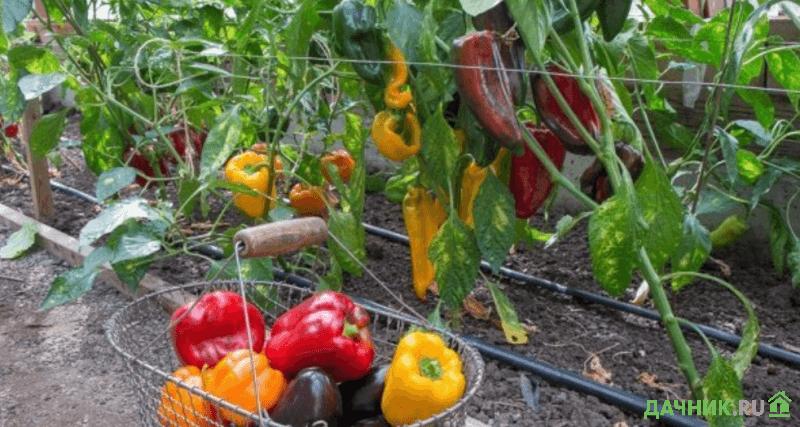 сбор урожая перца