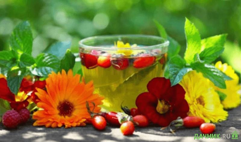 лекарственные растения для лечения печени