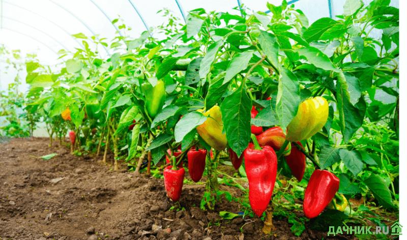 Благоприятные дни для посева перца